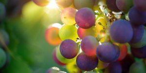Racimo de uvas_Vino-Vegano