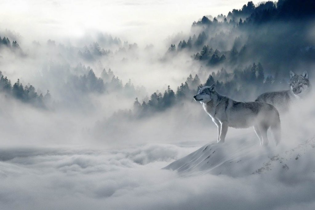 Lobos_montaña_niebla