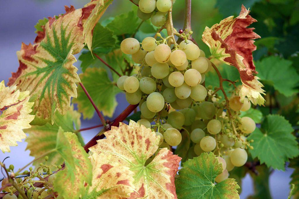Racimo de uva_vino vegano